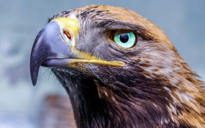 Eagle – Symbol and Meaning